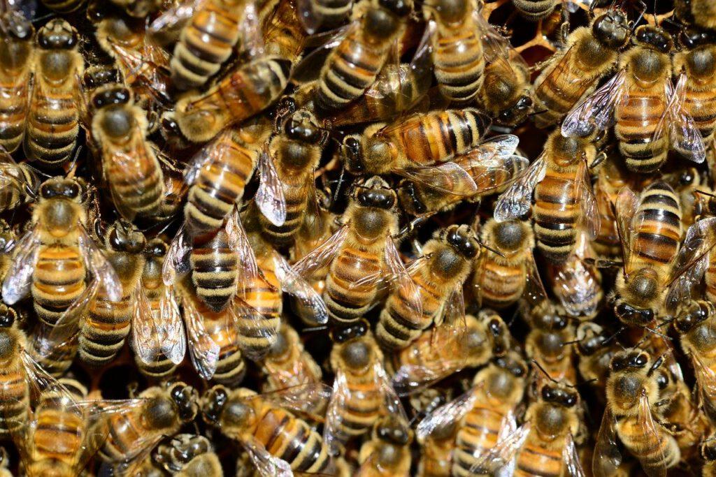 Bienenseuche, Bienenpest, Biene, Billwerder, Marschgebiet, Amerikanische bösartige, Faulbrut, Honig